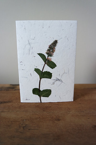 lamiaceae mentha