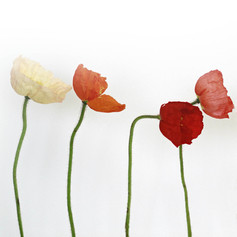 Coquelicot-Poppy-Amapola-Mohn