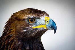 golden-eagle-.jpg