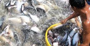 Mencegah Penyakit dalam Budidaya Ikan Nila