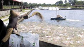 Penyakit Budidaya Ikan Lele Channel Catfish Virus Disease