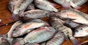 Manajemen Hatchery - Jantanisasi Ikan