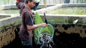 Warga BanyuwangiTuai Panen dariGerakan 10.000 Kolam Ikan