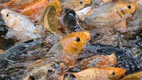 Ini Ciri Kondisi Lingkungan yang Mendukung Pertumbuhan Optimal Ikan Mas