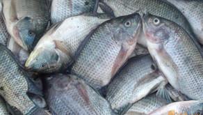 Keuntungan Menambah Pejantan pada Budidaya Ikan Nila