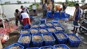 Nilai Ekspor Udang Meningkat, Revitalisasi TambakSegera Dilakukan