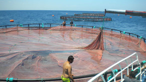 KKP Bangun Tiga Keramba Jaring Apung Lepas Pantai untuk Produksi Ikan Kakap Putih