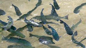 Pertama KalinyaDitemukan Penyakit Whirling pada Ikan di Kanada