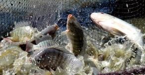 Budidaya Ikan Nila di Indonesia
