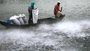 Penyakit Parasit Bintik Putih pada Ikan