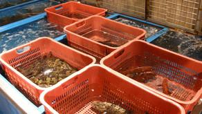 290 Ton Stok Ekspor Ikan Kerapu Menumpuk di Sumut
