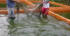 Memantau Kualitas Parameter Air untuk Menjaga Pertumbuhan Ikan Lele