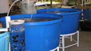 Toleransi Penggunaan Hidrogen Peroksida Pada Budidaya Perikanan