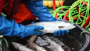 Industri Perikanan di Chile Sepakat Kurangi Penggunaan Antibiotik pada Salmon