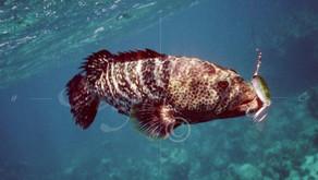 Berikan Pelet Kering pada Ikan Kerapu Macan hanya saat Kondisi Perairan benar-benar Baik