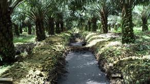 Kontaminasi Tanah dan Polusi Air Sebagai Dampak Lingkungan Industri Sawit