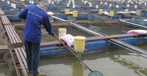Cegah Penyakit pada Ikan,Wajib Sikat dan Bersihkan Seluruh Peralatan dengan Deterjen