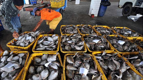 Tekan Kadar Ammonia dengan Penambahan Deodorase pada tambak Ikan