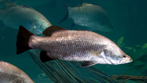 Pembibitan Ikan Kakap Putih