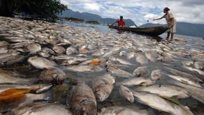10 Ton Ikan Nila Mendadak Mati di Danau Maninjau
