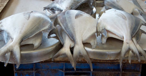 Manfaat Pepaya untuk Lancarkan Pencernaan Ikan