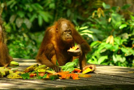 Orangutans of Indonesia