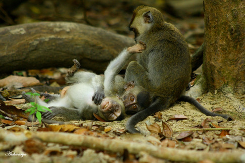 Long-tailed Bornean Macaques