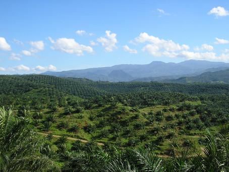 Minyak kelapa sawit menekan petani kelapa di Asia Tenggara