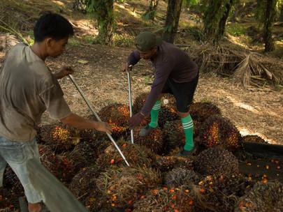 Perkebunan Kelapa Sawit di Indonesia Didesak untuk Memperketat Pembatasan COVID-19 Saat Infeksi