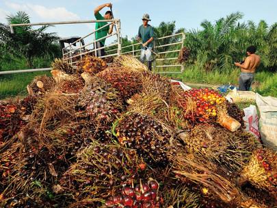 Bisakah tenaga dari limbah minyak kelapa sawit menggantikan bahan bakar fosil di Asia yang lebih mem