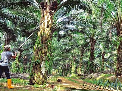 Accurate Narrative around Palm Oil Vital