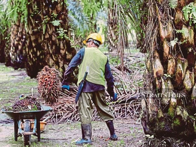 Ensuring Higher Income through Oil Palm Innovations