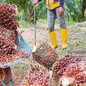 NASH Seeks to Reintroduce Smallholder Palm Oil Replanting Assistance Scheme