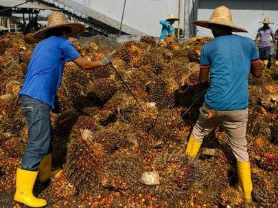 Malaysia Palm Plantations Urge Government to Let Foreign Workers Return