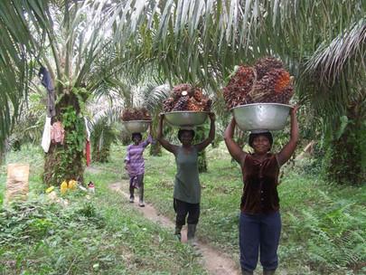 Ghana Menjadi Pemain Terbaik Afrika Dalam Produksi Minyak Kelapa Sawit