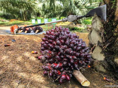 Petani Kelapa Sawit Didorong untuk Mengadopsi Teknologi Agar Meningkatkan Panen