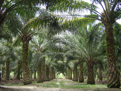 Oil Palm Sector Gets ₹4,800-Cr Push from Telangana Government