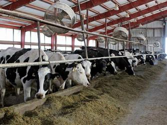 Tidak ada bukti bahwa mentega lebih keras karena suplemen kelapa sawit dalam pakan sapi