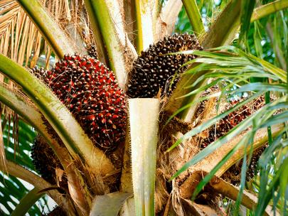 Edo Allocates 57,000 Hectares to Oil Palm Investors