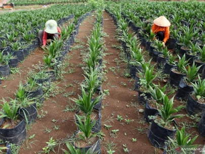 Govt-Stakeholder Partnership Targets Rejuvenating Palm Oil Plantations