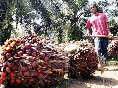 Oil Palm Smallholders Suffer from Falling Prices, Pandemic Restrictions