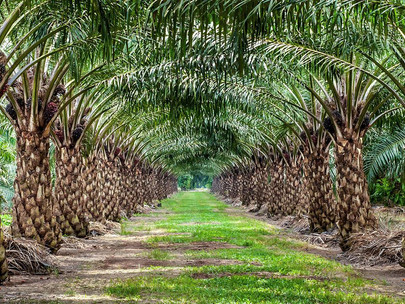 Uganda Targetkan untuk Menggandakan Produksi Minyak Kelapa Sawit dengan Lokasi Kedua
