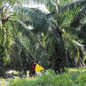 Malaysia Hunts for Local Palm Oil Workers with Online Jobs Fair