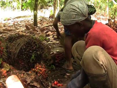 Ghana to Become Regional Top Performer in Palm Oil Production