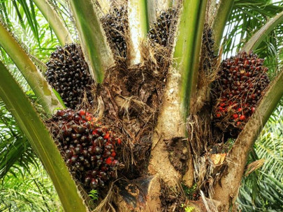 Malaysia to pilot blockchain for sustainable palm oil