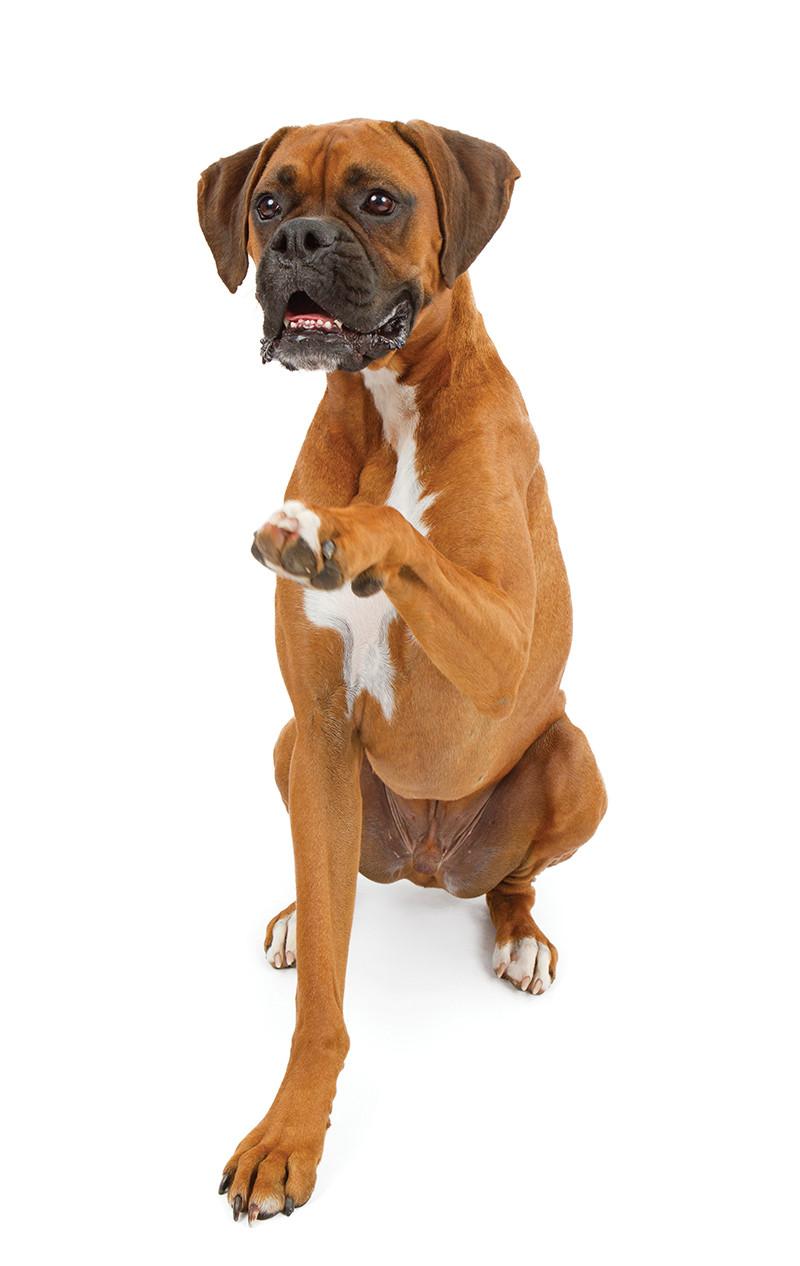 Dog raising one paw