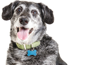 You CAN Teach an Old Dog New Tricks: Tips for Adopting a Senior Dog