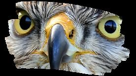 Hawk's Landing Hawk.png