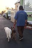 Mason walking Bela and Hank