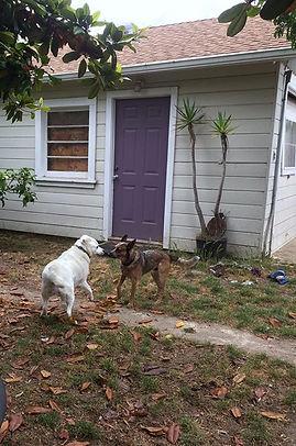 Bella and Hank playing tug